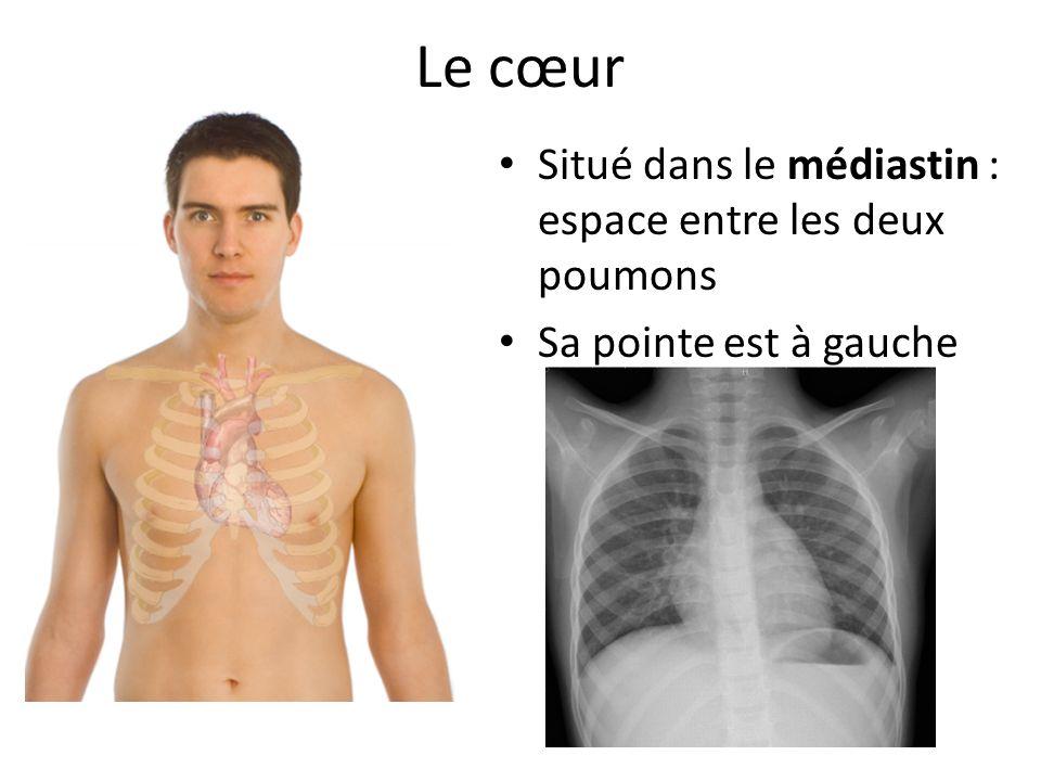 Le cœur Situé dans le médiastin : espace entre les deux poumons Sa pointe est à gauche