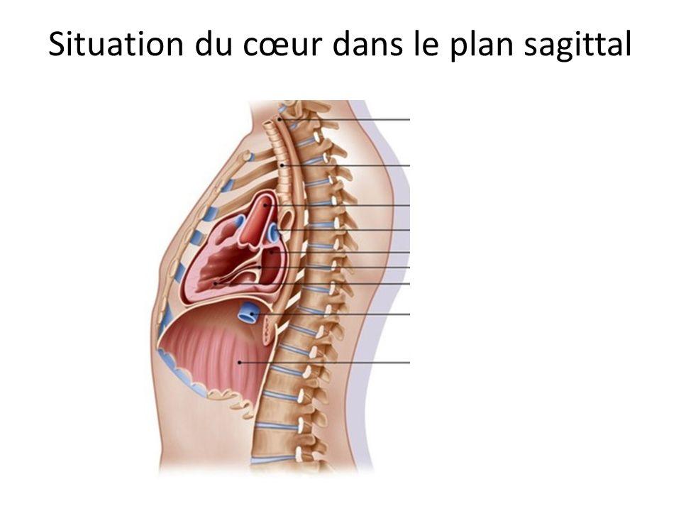 Situation du cœur dans le plan sagittal
