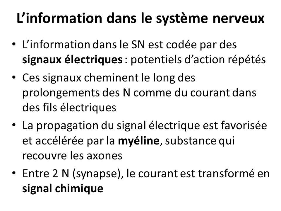 Linformation dans le système nerveux Linformation dans le SN est codée par des signaux électriques : potentiels daction répétés Ces signaux cheminent