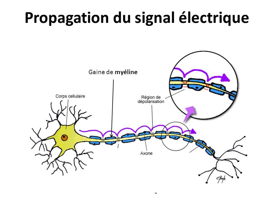 Propagation du signal électrique Gaine de myéline -