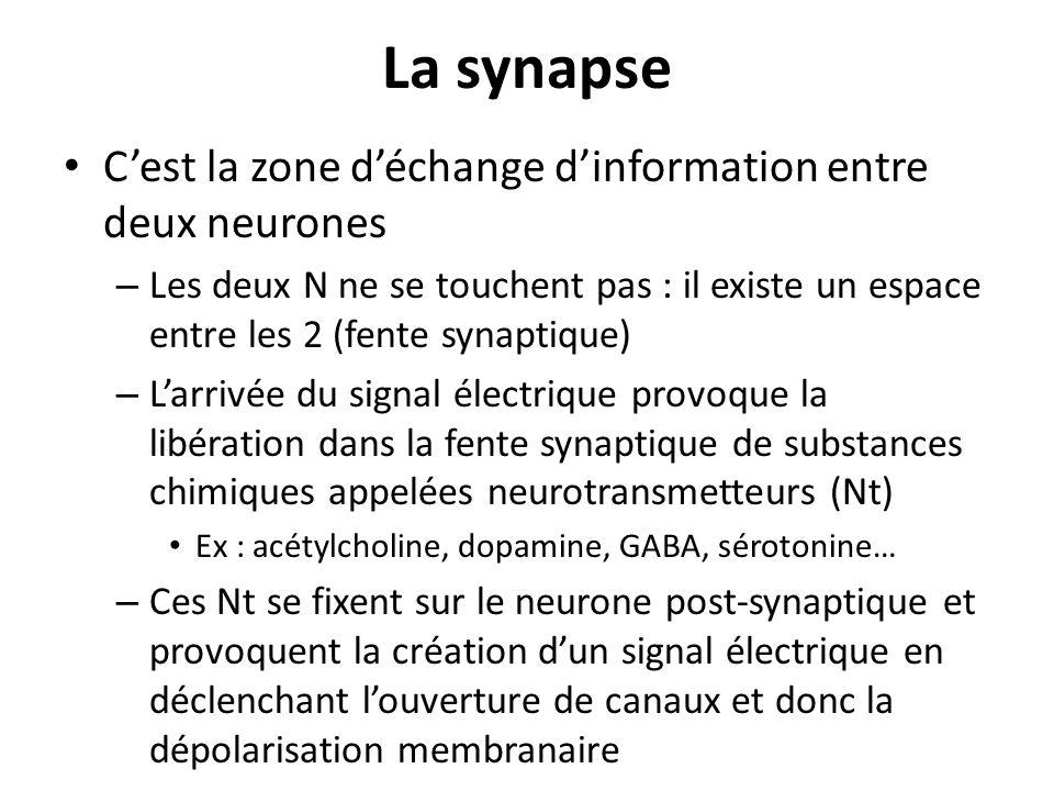 La synapse Cest la zone déchange dinformation entre deux neurones – Les deux N ne se touchent pas : il existe un espace entre les 2 (fente synaptique)
