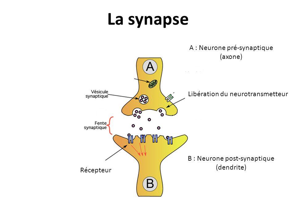 La synapse Récepteur Libération du neurotransmetteur A : Neurone pré-synaptique (axone) B : Neurone post-synaptique (dendrite)