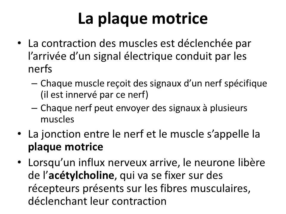 La plaque motrice La contraction des muscles est déclenchée par larrivée dun signal électrique conduit par les nerfs – Chaque muscle reçoit des signau