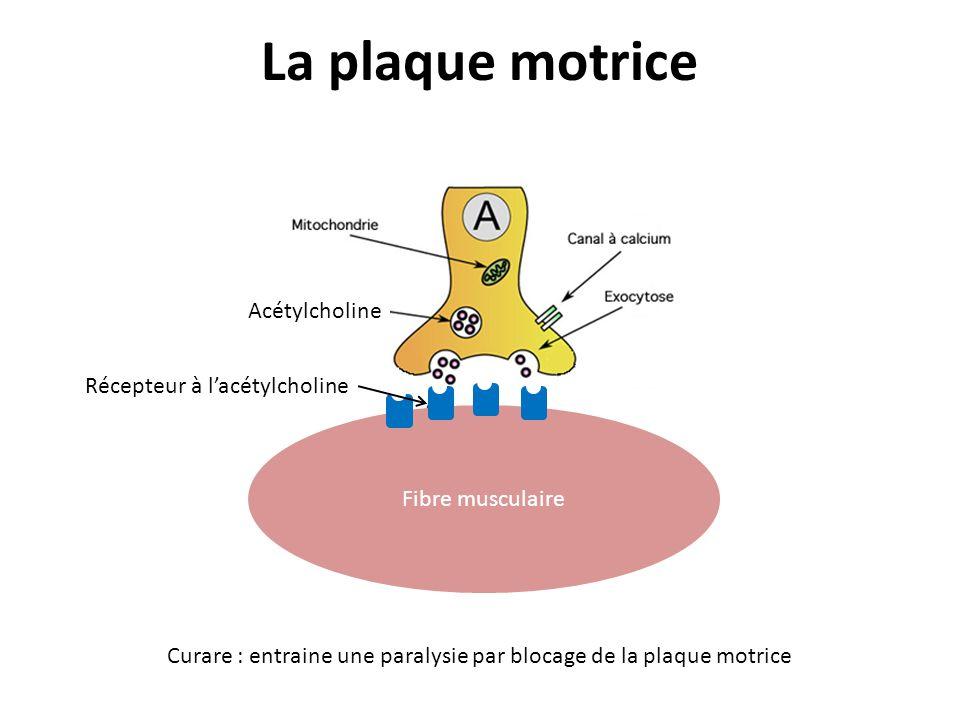 La plaque motrice Fibre musculaire Acétylcholine Récepteur à lacétylcholine Curare : entraine une paralysie par blocage de la plaque motrice