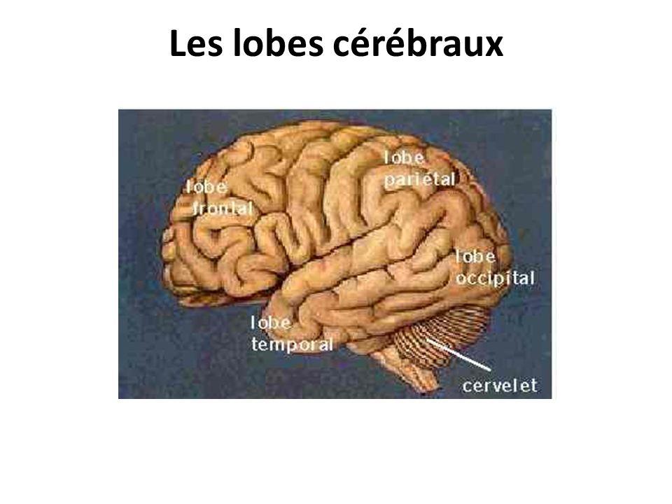 Les lobes cérébraux
