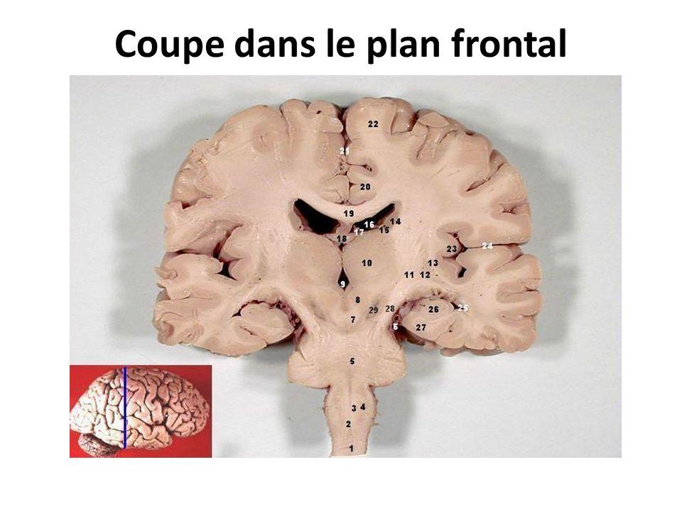 Coupe dans le plan frontal