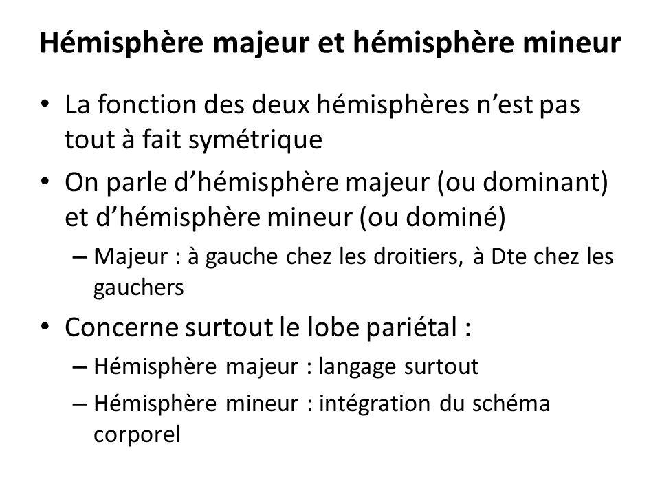 Hémisphère majeur et hémisphère mineur La fonction des deux hémisphères nest pas tout à fait symétrique On parle dhémisphère majeur (ou dominant) et d
