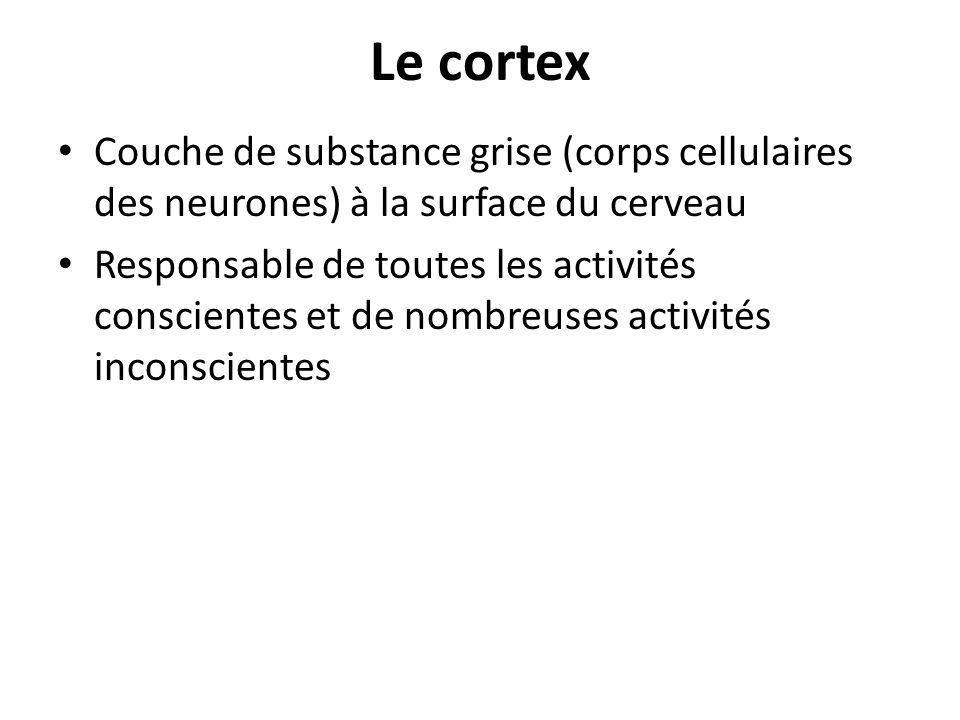 Le cortex Couche de substance grise (corps cellulaires des neurones) à la surface du cerveau Responsable de toutes les activités conscientes et de nom