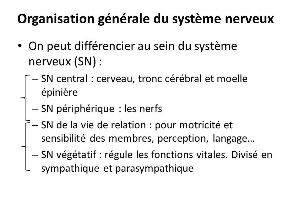 Organisation générale du système nerveux On peut différencier au sein du système nerveux (SN) : – SN central : cerveau, tronc cérébral et moelle épini