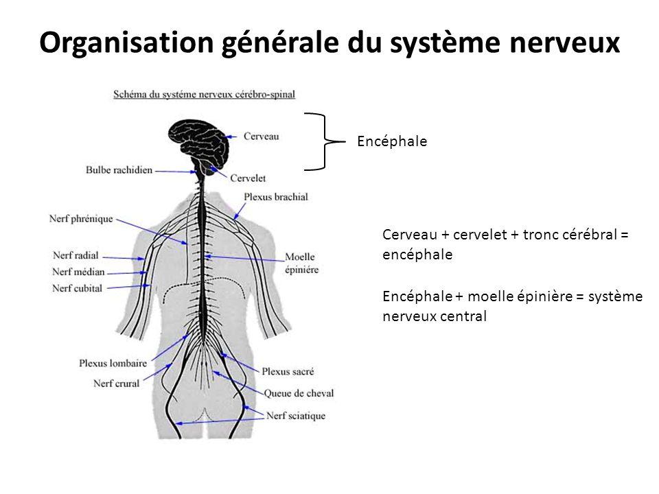Organisation générale du système nerveux Encéphale Encéphale + moelle épinière = système nerveux central Cerveau + cervelet + tronc cérébral = encépha