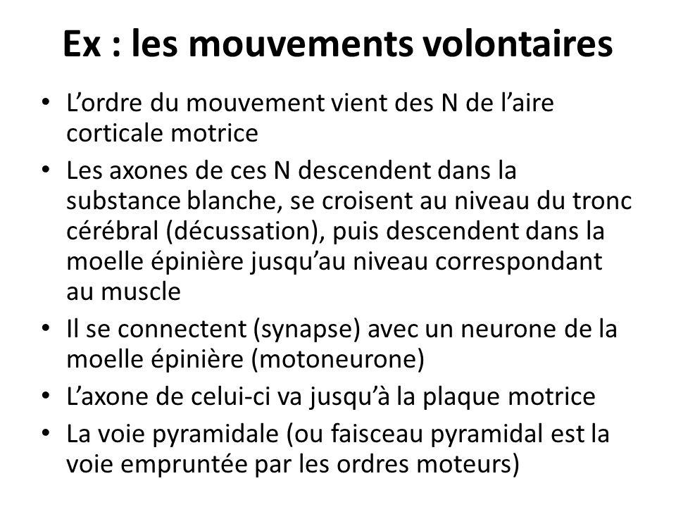Ex : les mouvements volontaires Lordre du mouvement vient des N de laire corticale motrice Les axones de ces N descendent dans la substance blanche, s