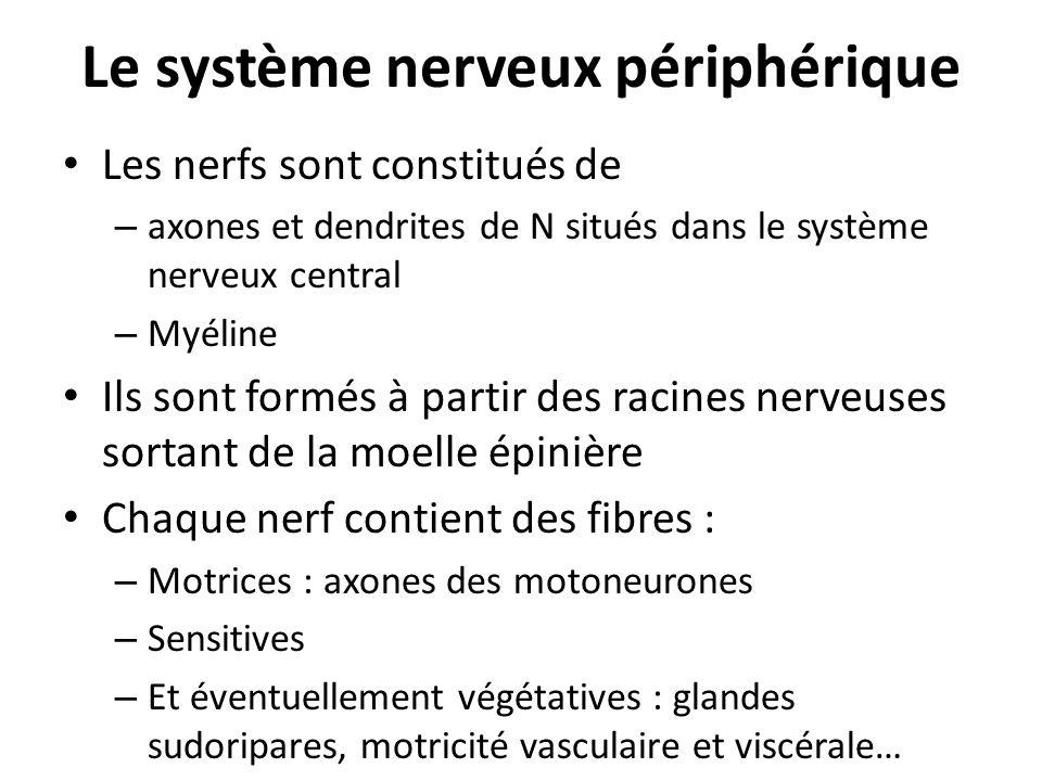 Le système nerveux périphérique Les nerfs sont constitués de – axones et dendrites de N situés dans le système nerveux central – Myéline Ils sont form