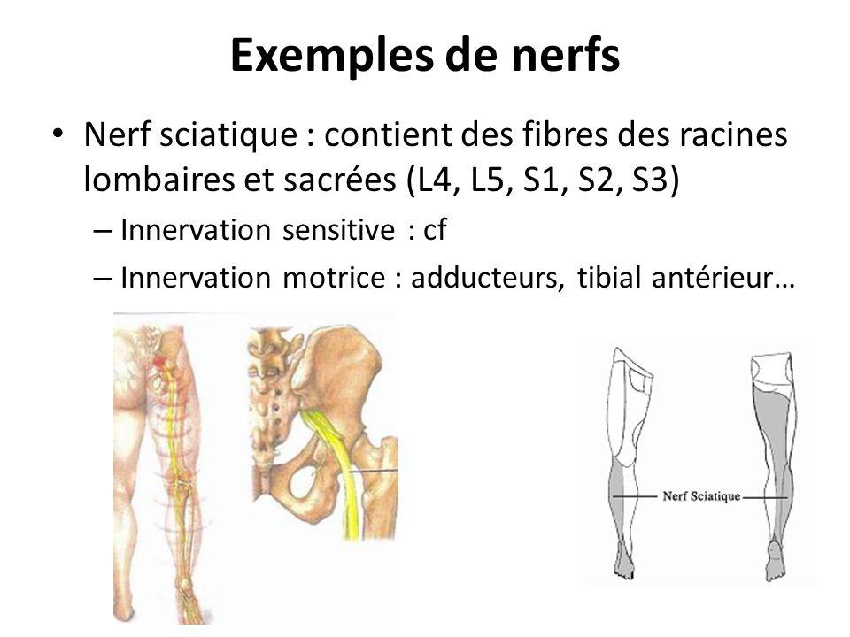 Exemples de nerfs Nerf sciatique : contient des fibres des racines lombaires et sacrées (L4, L5, S1, S2, S3) – Innervation sensitive : cf – Innervatio