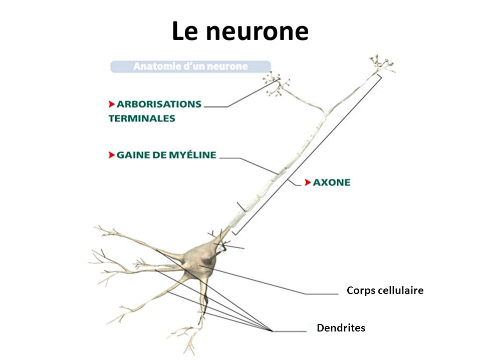 Le neurone Corps cellulaire Dendrites