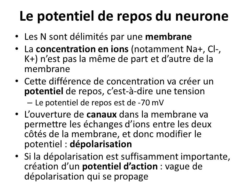 Le potentiel de repos du neurone Les N sont délimités par une membrane La concentration en ions (notamment Na+, Cl-, K+) nest pas la même de part et d