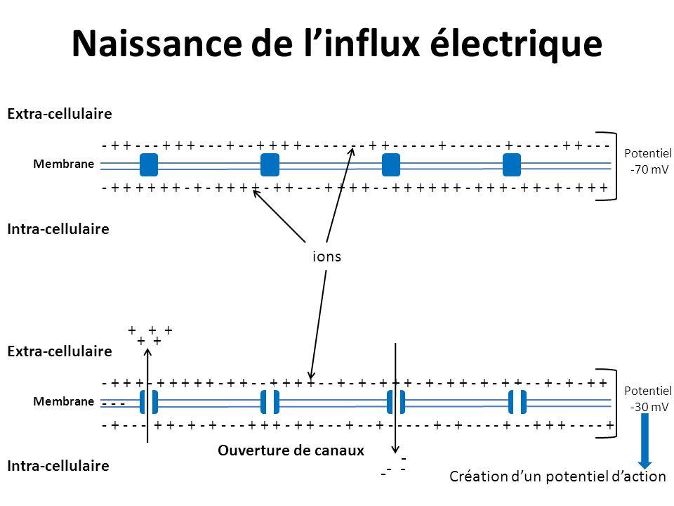 Naissance de linflux électrique - + + + + + + - + - + + + + - + + - - - + + + + - - + + + + + + - + + + - + + - + - + + + - + + - - - + + + - - - + -