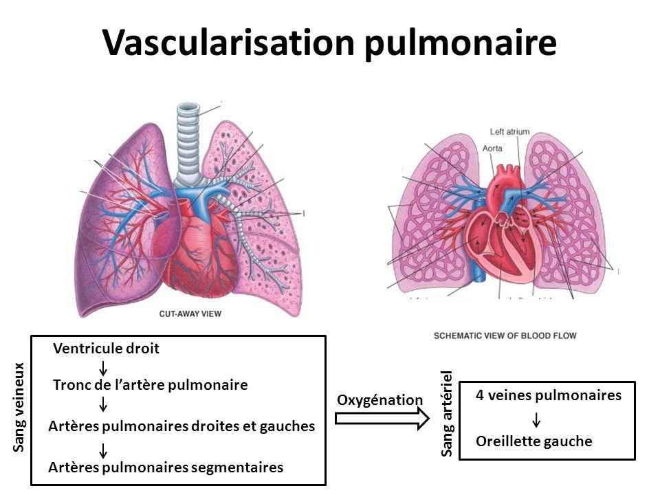 Vascularisation pulmonaire Ventricule droit Tronc de lartère pulmonaire Artères pulmonaires droites et gauches Artères pulmonaires segmentaires Sang v