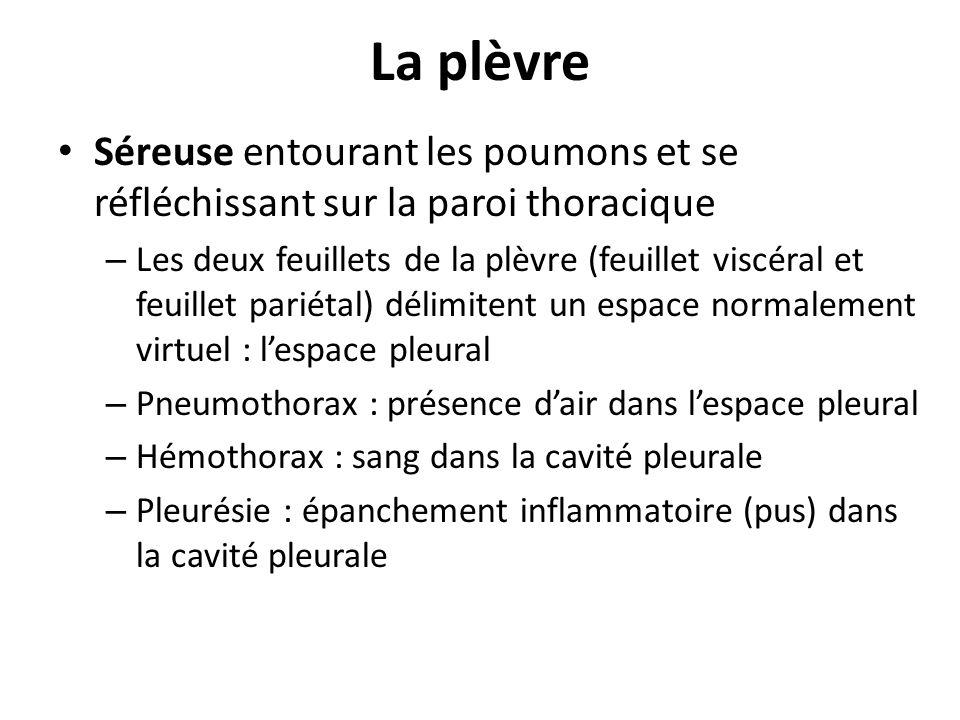 La plèvre Séreuse entourant les poumons et se réfléchissant sur la paroi thoracique – Les deux feuillets de la plèvre (feuillet viscéral et feuillet p