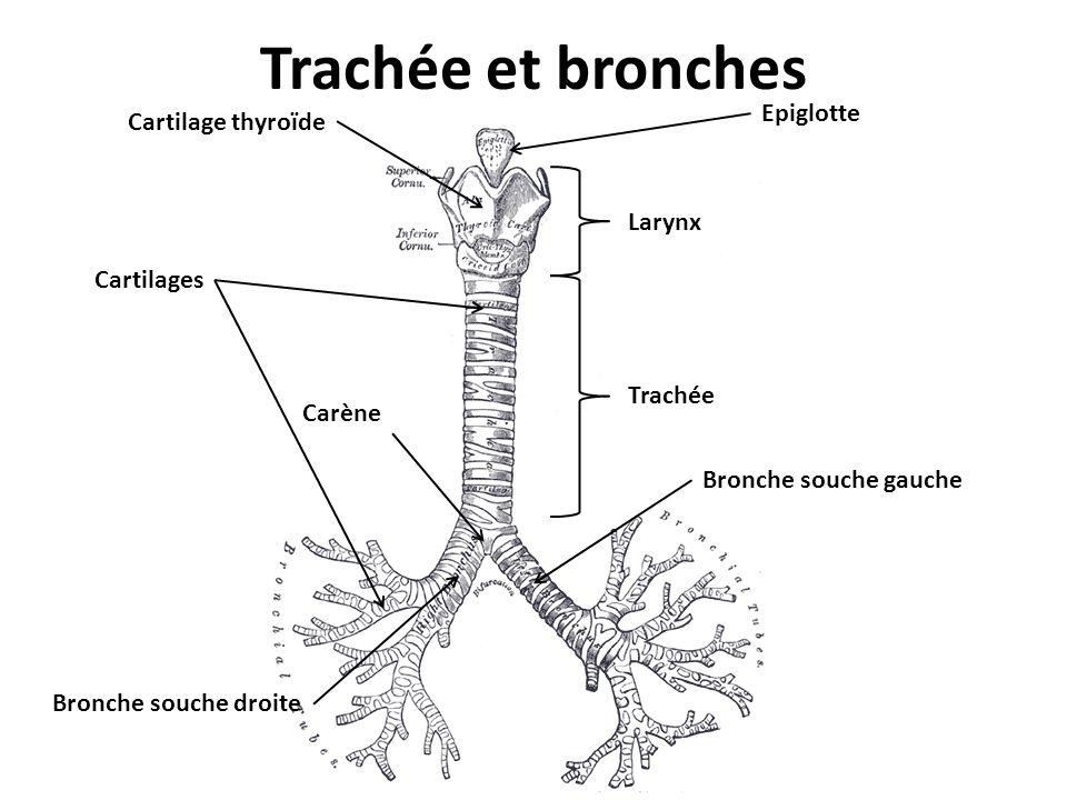 Trachée et bronches Trachée Carène Bronche souche gauche Bronche souche droite Cartilage thyroïde Epiglotte Larynx Cartilages
