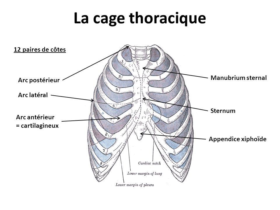 La cage thoracique Appendice xiphoïde Sternum Manubrium sternal 12 paires de côtes Arc postérieur Arc latéral Arc antérieur = cartilagineux
