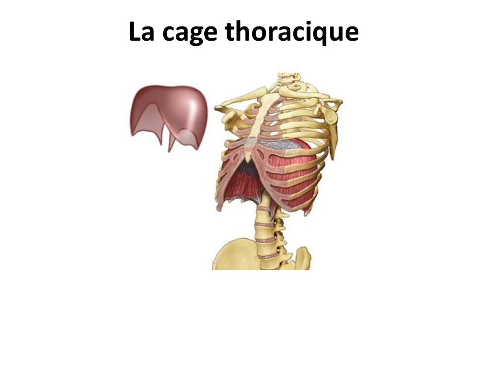 La cage thoracique