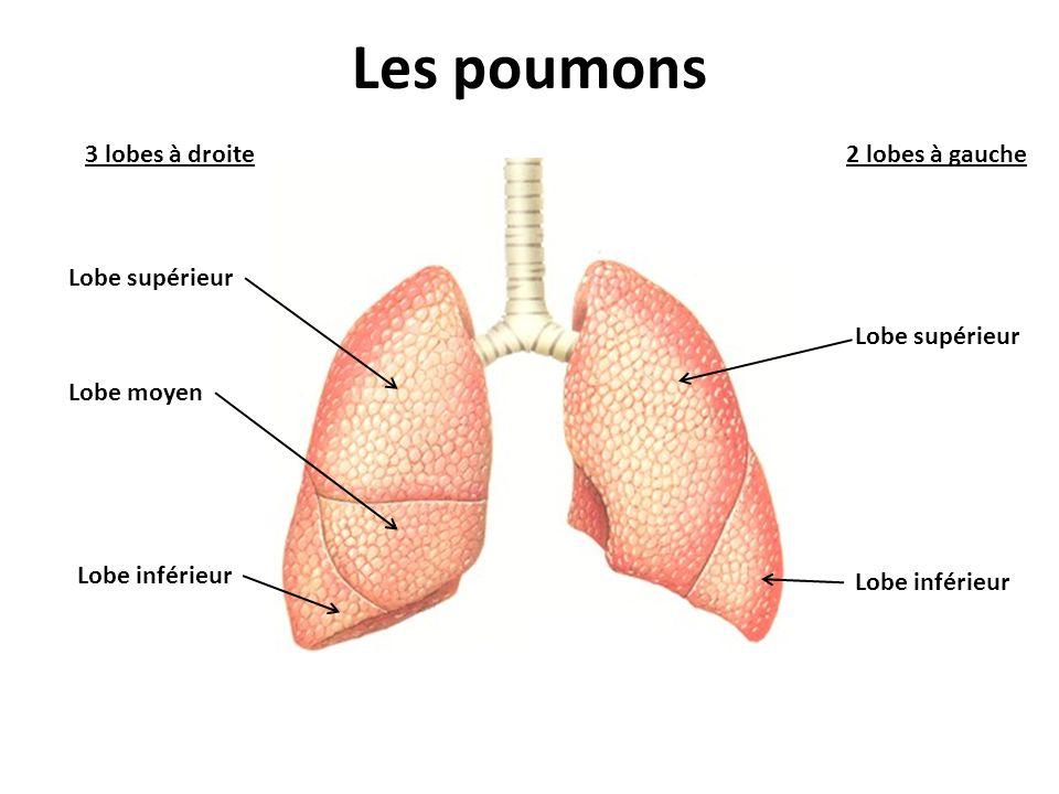 Les poumons 3 lobes à droite2 lobes à gauche Lobe supérieur Lobe inférieur Lobe supérieur Lobe inférieur Lobe moyen