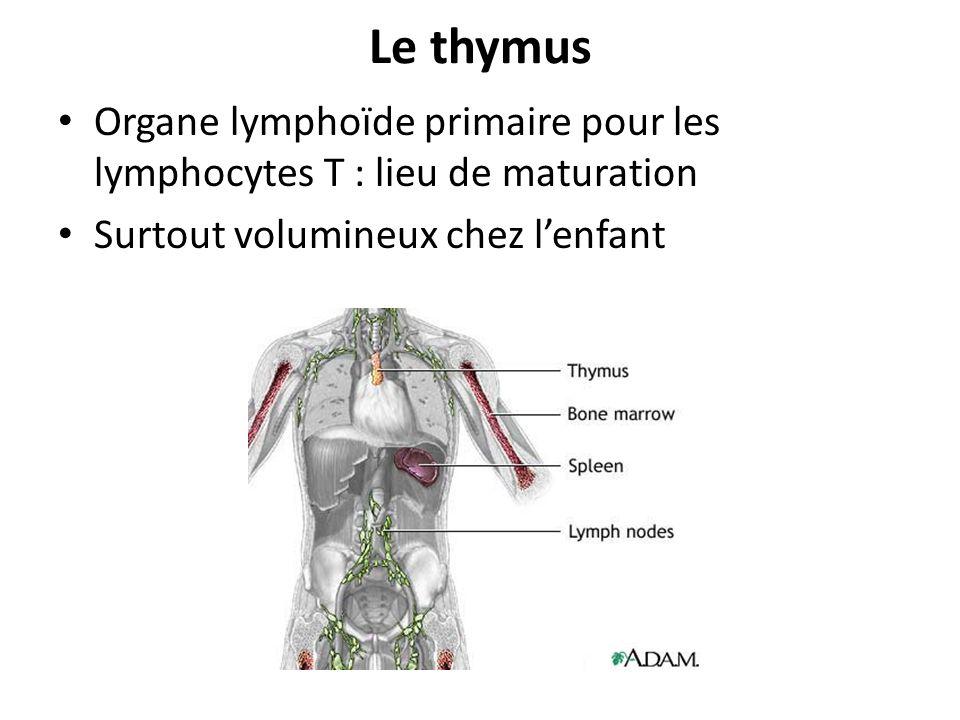 Le thymus Organe lymphoïde primaire pour les lymphocytes T : lieu de maturation Surtout volumineux chez lenfant