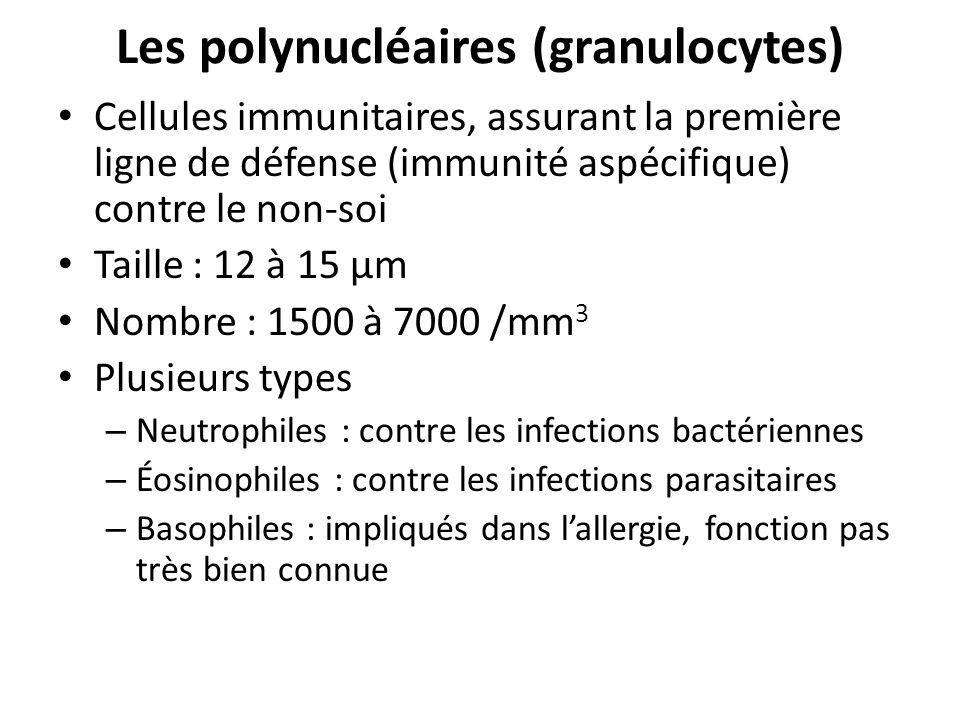 Les polynucléaires (granulocytes) Cellules immunitaires, assurant la première ligne de défense (immunité aspécifique) contre le non-soi Taille : 12 à