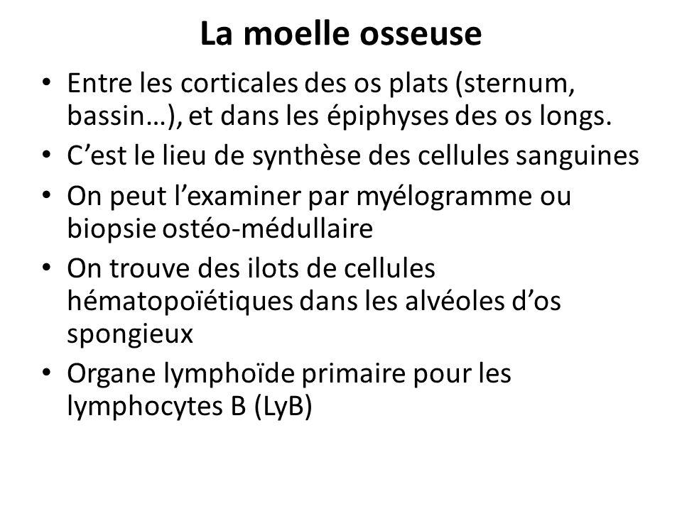 La moelle osseuse Entre les corticales des os plats (sternum, bassin…), et dans les épiphyses des os longs. Cest le lieu de synthèse des cellules sang