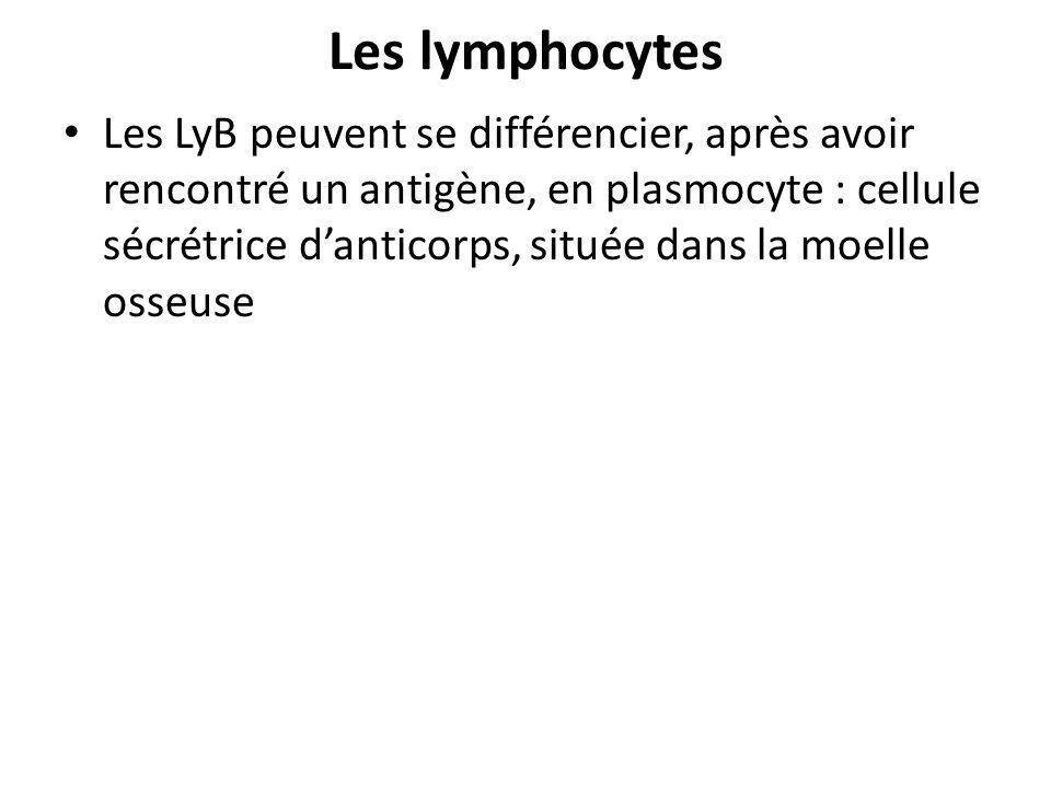 Les lymphocytes Les LyB peuvent se différencier, après avoir rencontré un antigène, en plasmocyte : cellule sécrétrice danticorps, située dans la moel