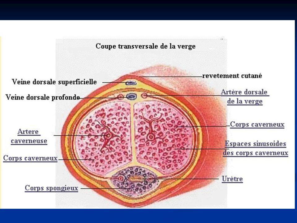 LA SPERMATOGENESE haploïde diploïde
