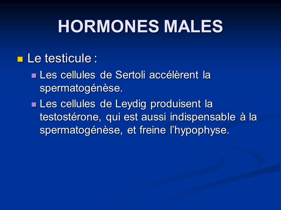 Le testicule : Le testicule : Les cellules de Sertoli accélèrent la spermatogénèse. Les cellules de Sertoli accélèrent la spermatogénèse. Les cellules