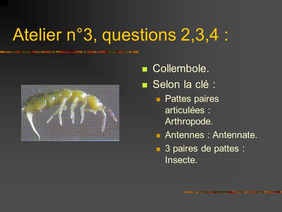 Atelier n°3, questions 2,3,4 : Collembole. Selon la clé : Pattes paires articulées : Arthropode. Antennes : Antennate. 3 paires de pattes : Insecte.