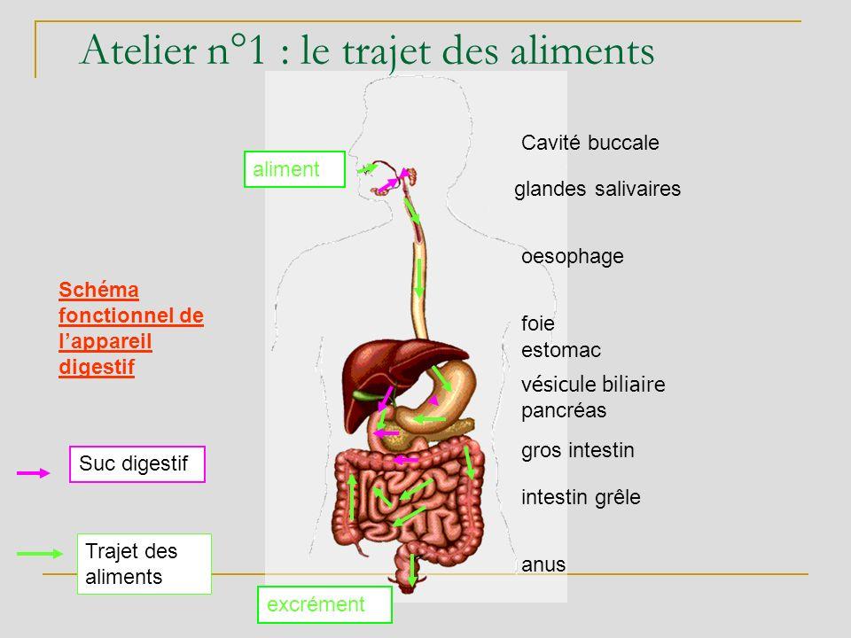 Atelier n°1 : le trajet des aliments glandes salivaires oesophage foie estomac pancréas intestin grêle gros intestin anus Cavité buccale excrément ali