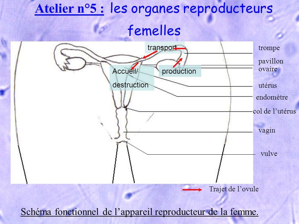 Atelier n°5 : les organes reproducteurs femelles vulve ovaire utérus endomètre col de lutérus vagin trompe pavillon Trajet de lovule Schéma fonctionne