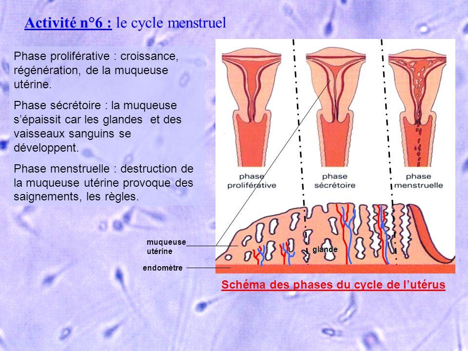 Activité n°6 : le cycle menstruel Phase proliférative : croissance, régénération, de la muqueuse utérine. Phase sécrétoire : la muqueuse sépaissit car