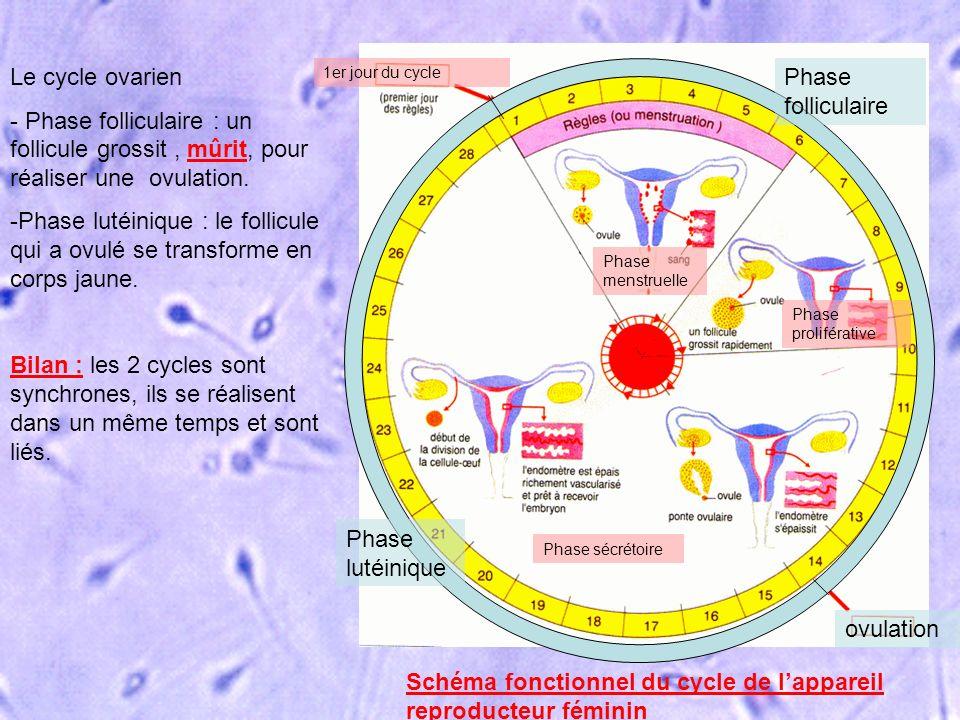Phase folliculaire Phase lutéinique ovulation Phase menstruelle Phase proliférative Phase sécrétoire 1er jour du cycle Schéma fonctionnel du cycle de