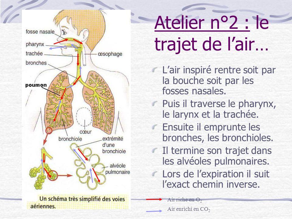 Atelier n°2 (suite) 4) Il ny a pas que de lair il y a aussi du sang, en effet on voit des vaisseaux sanguins qui traversent les poumons.