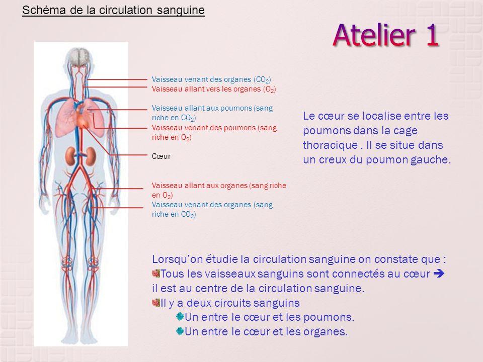 Vaisseau venant des organes (CO 2 ) Vaisseau allant vers les organes (O 2 ) Vaisseau allant aux poumons (sang riche en CO 2 ) Vaisseau venant des poum