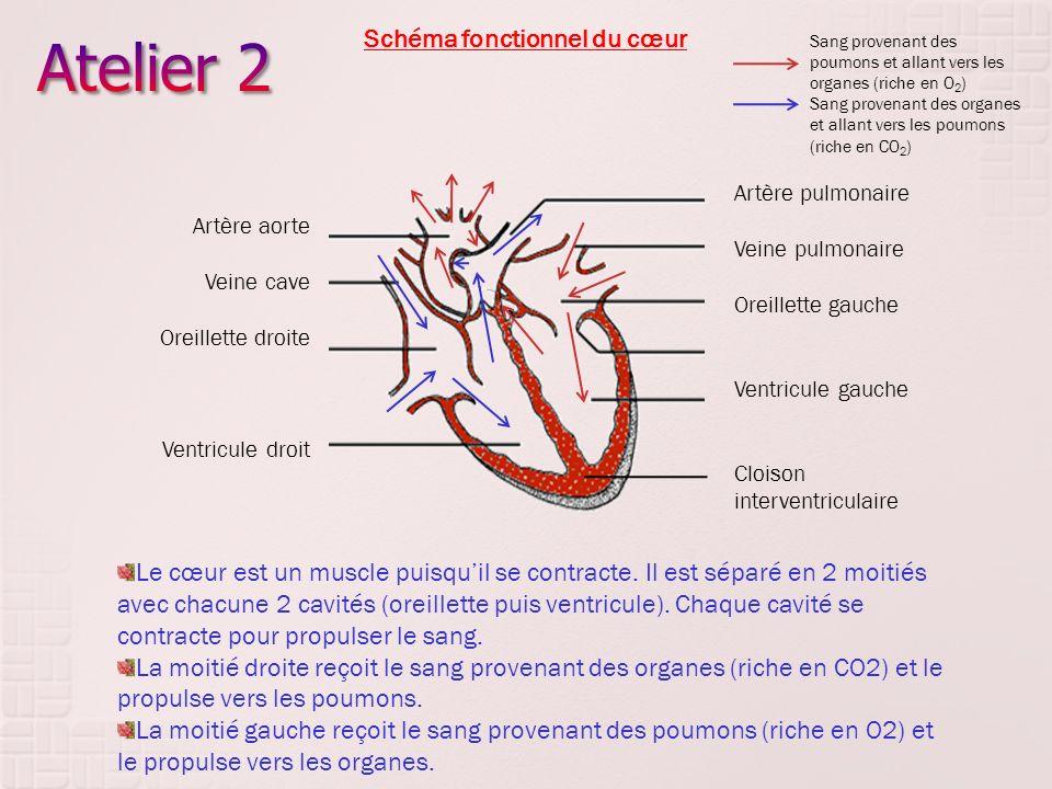Artère pulmonaire Veine pulmonaire Oreillette gauche Ventricule gauche Cloison interventriculaire Artère aorte Veine cave Oreillette droite Ventricule