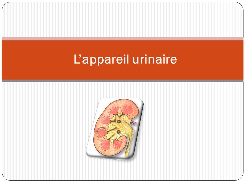 Atelier n°1 : 1) On constate que lurine apparaît dans le rein donc cest le rein qui produit lurine.