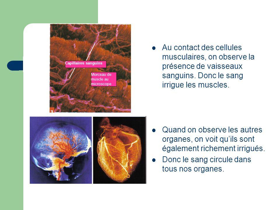 Au contact des cellules musculaires, on observe la présence de vaisseaux sanguins. Donc le sang irrigue les muscles. Quand on observe les autres organ