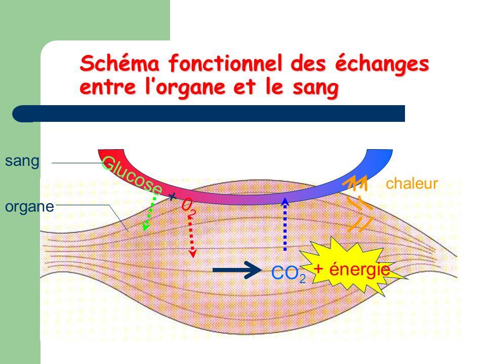 Schéma fonctionnel des échanges entre lorgane et le sang Glucose + 0 2 CO 2 + énergie sang organe chaleur