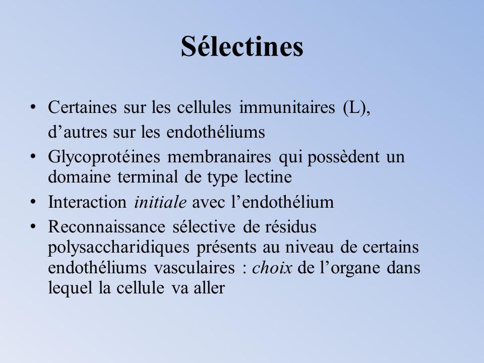 Certaines sur les cellules immunitaires (L), dautres sur les endothéliums Glycoprotéines membranaires qui possèdent un domaine terminal de type lectin