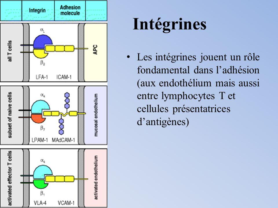 Intégrines Les intégrines jouent un rôle fondamental dans ladhésion (aux endothélium mais aussi entre lymphocytes T et cellules présentatrices dantigè