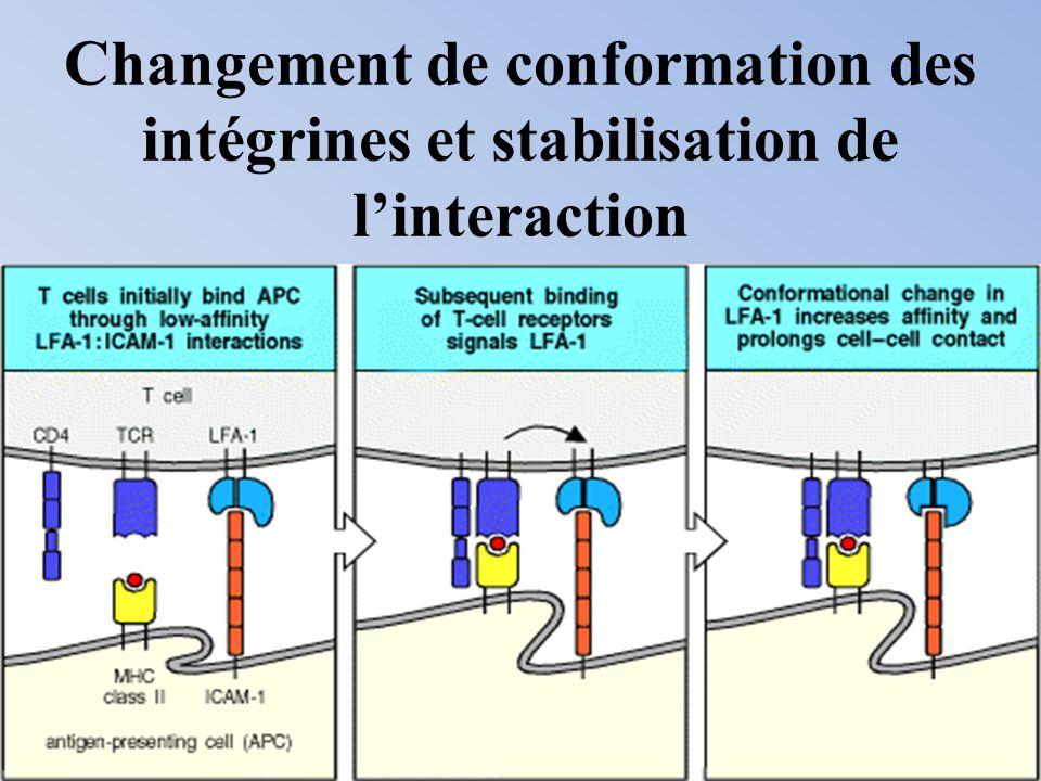Changement de conformation des intégrines et stabilisation de linteraction