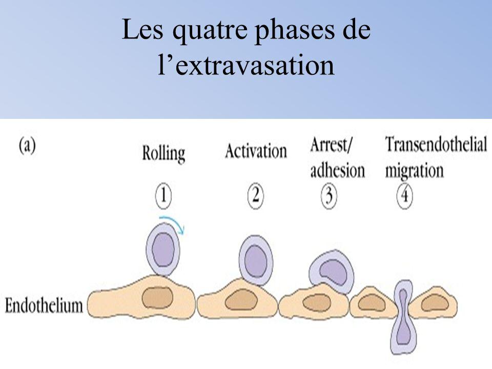 Les quatre phases de lextravasation