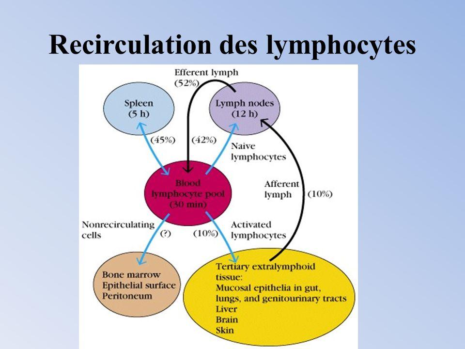 Une différence entre la migration des lymphocytes et des neutrophiles neutrophiles : migration vers tous les organes enflammés lymphocytes : migration sélective vers certains tissus ou organes lymphoïdes (selon le type de lymphocytes considérés) : Homing