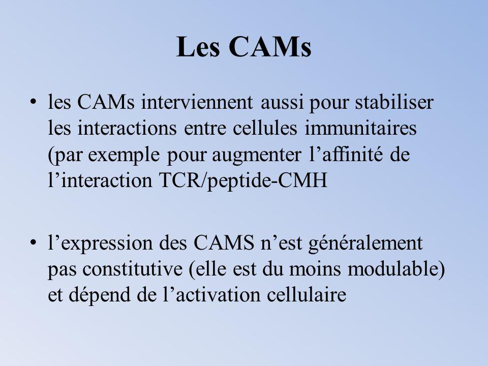 Les CAMs les CAMs interviennent aussi pour stabiliser les interactions entre cellules immunitaires (par exemple pour augmenter laffinité de linteracti