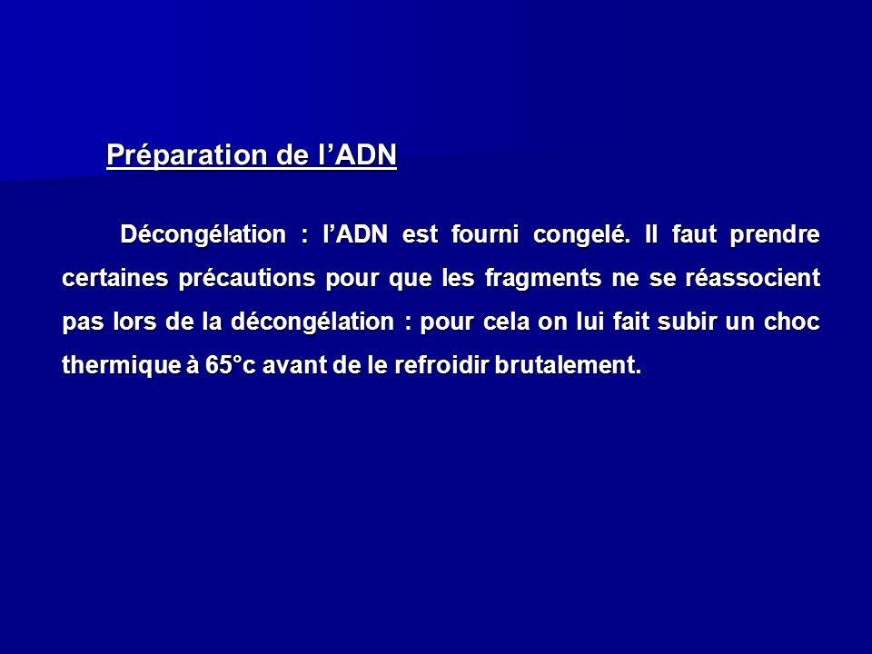 . Préparation de lADN Décongélation : lADN est fourni congelé. Il faut prendre certaines précautions pour que les fragments ne se réassocient pas lors